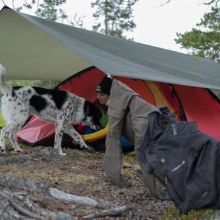 Stumpen står på kjetting nært teltet. Men han får gå løs fra tid til annen og stortrives i vårt selskap.