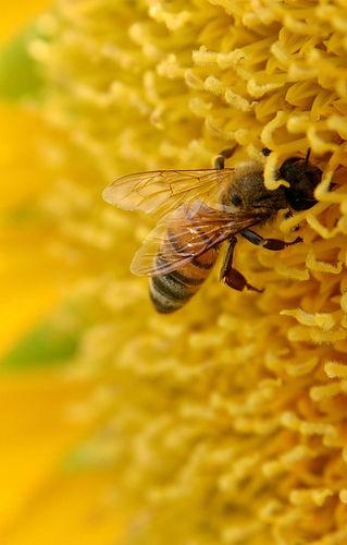 save apiculture