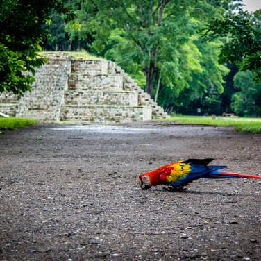 macaw2 at copan.jpg