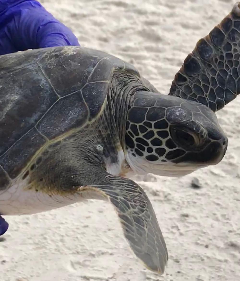 Turtle Cape San Blas