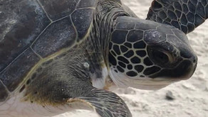 Sea Turtles in Gulf County