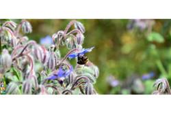 Une abeille butinant la bourrache