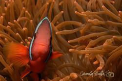 Tomato Clown Fish
