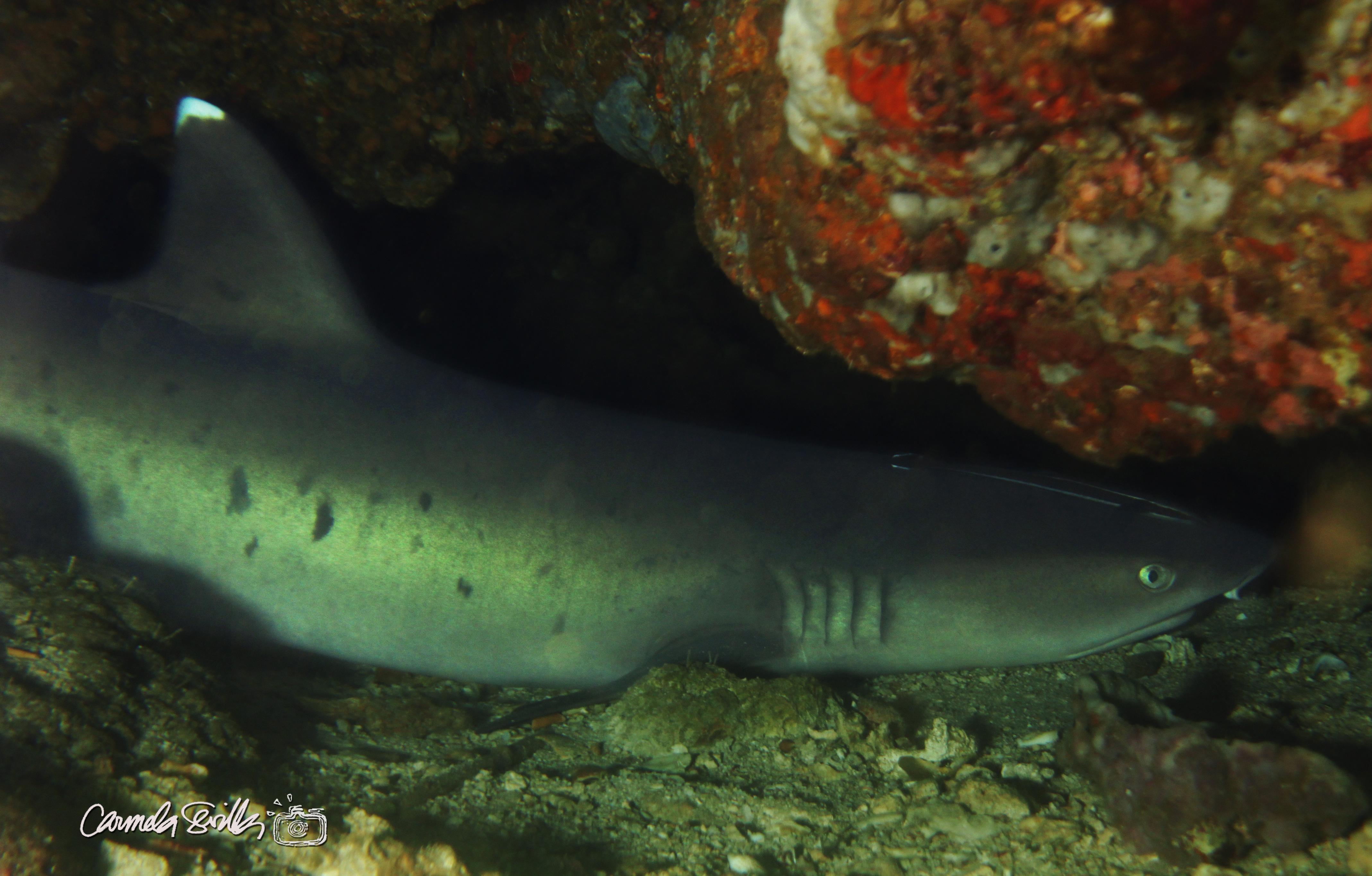 Resting Shark
