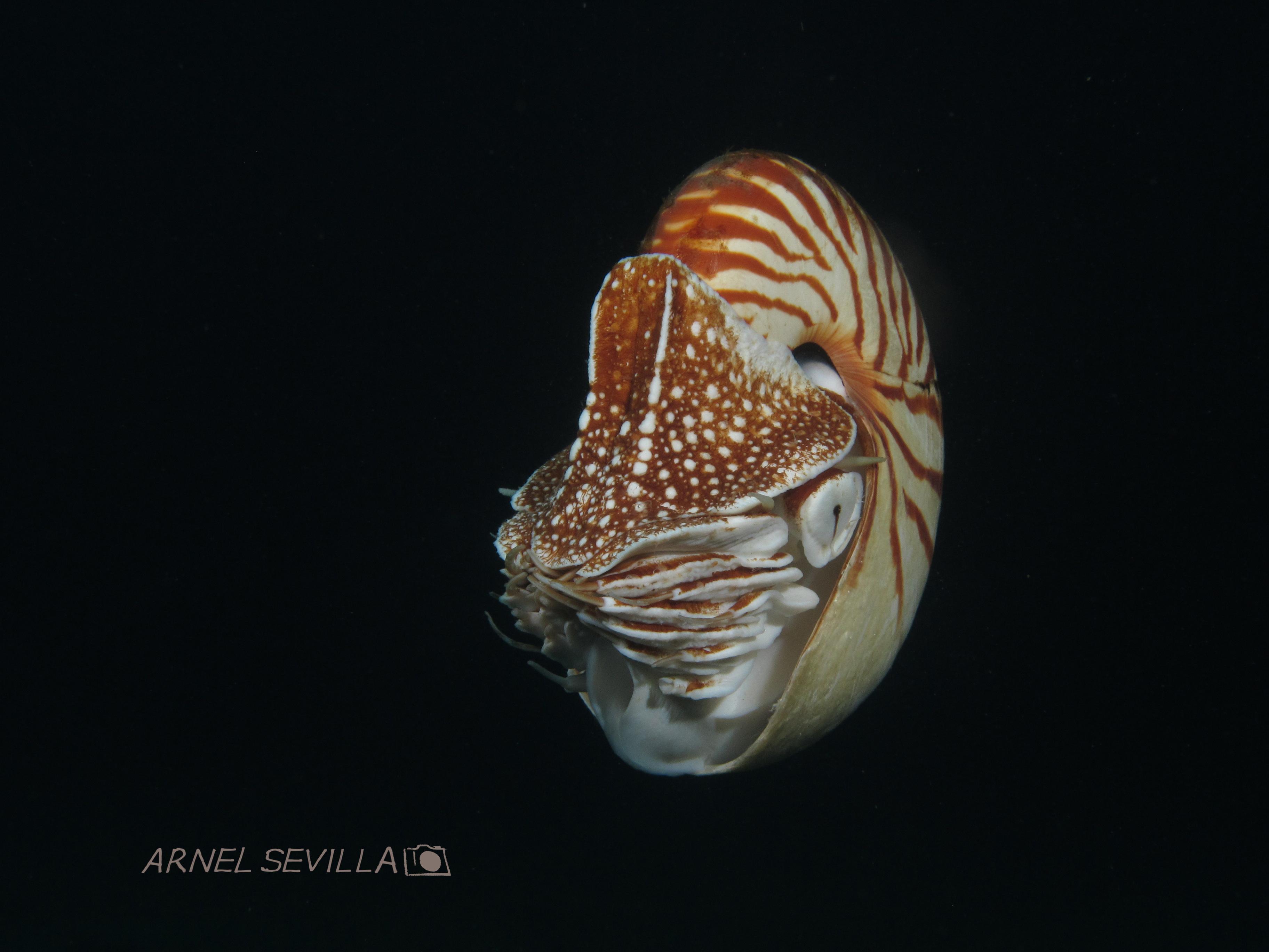 Nautilus by Arnel Sevilla