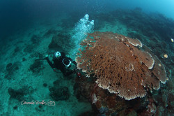 Table Coral at House Reef
