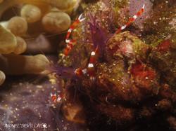 Purple Shrimps