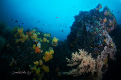 Wall of Soft Corals