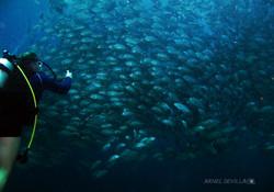 Schooling Jacks with Diver