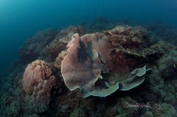 Lettuce Corals