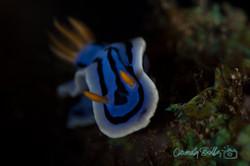 Blue Chromodoris