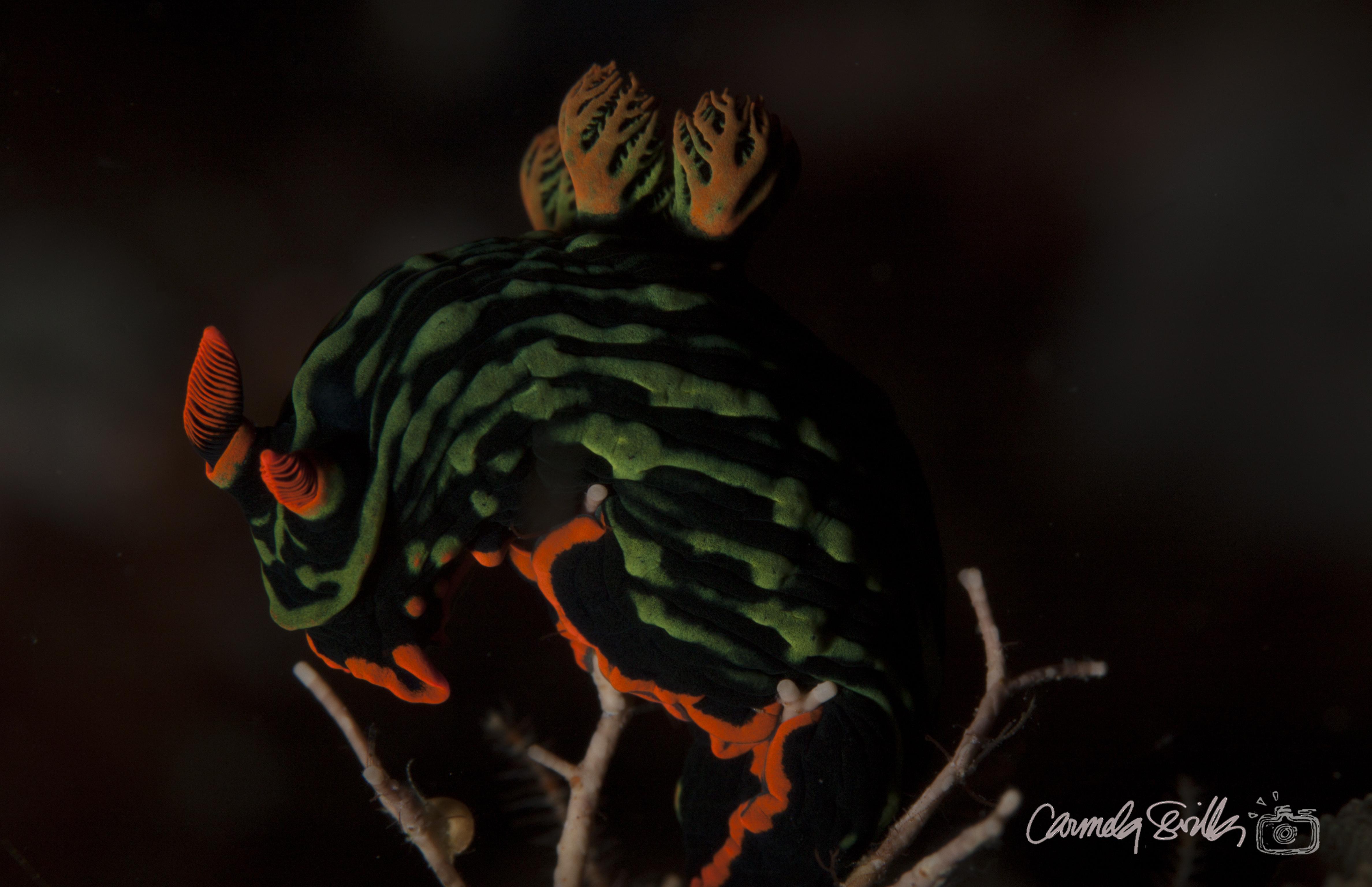 Green lined Nembrotha