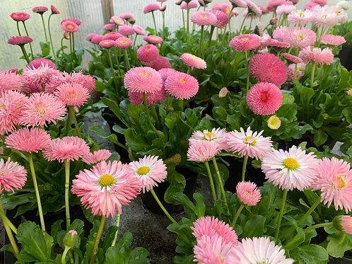 Bellis - Gänseblümchen gemischte Farben