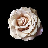 Rose - Koko Loko.jpg