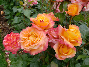 Buying & Planting Roses