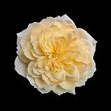 Rose - Grace.jpg