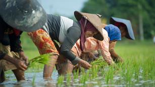 Rice Planting, Indonesia