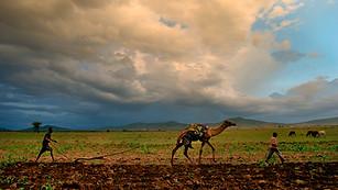 Ethipoia Farming Camel