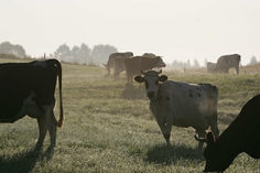 Even more cows!