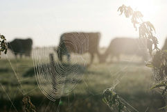 Web & Cows