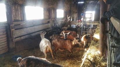 Goat s(t)imulator