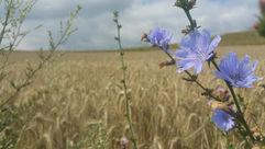 Flowers of field