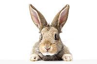 gray fluffy rabbit looking at the signbo