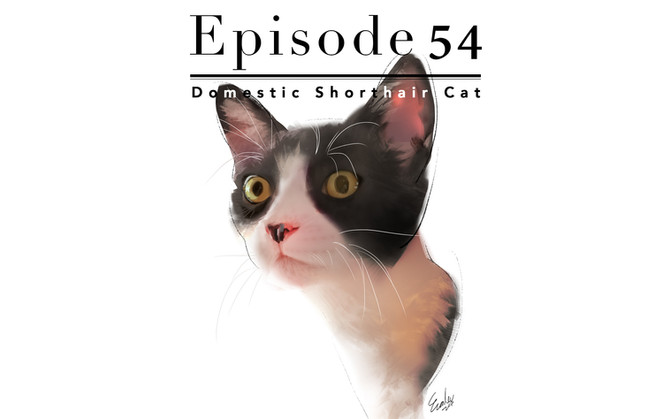 Episode 54-Domestic Shorthair Cat