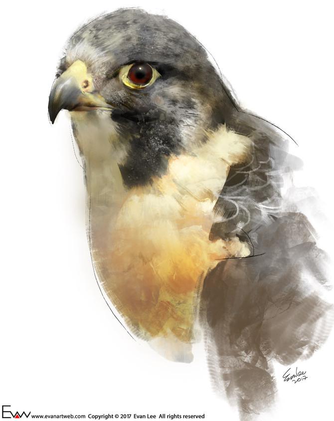 Episode 15-Peregrine Falcon