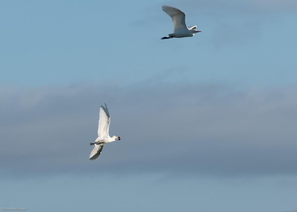 Cattle Egrets on Somerset Levels-0135