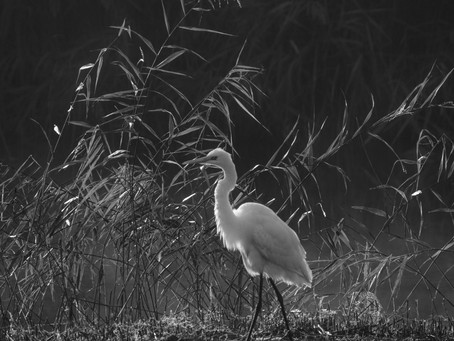 Misty morning view of Great White Egret