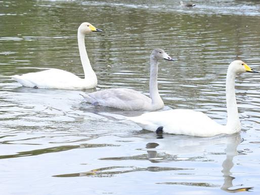 冬の訪れを告げる白鳥の親子