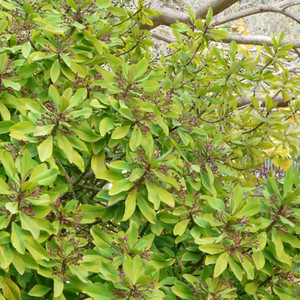 Euphorbia umbellata