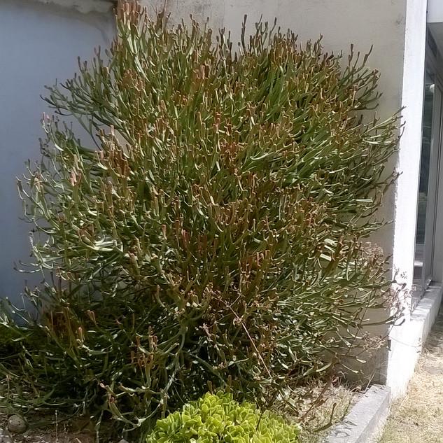 Euphorbia xylophyloides shrub against wall