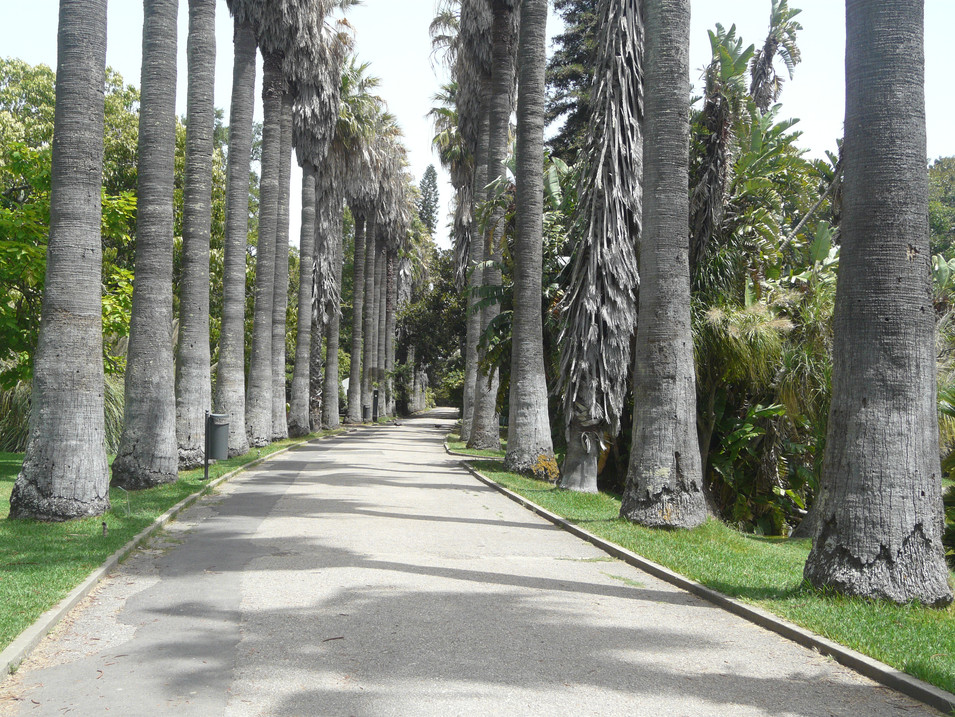 Washingtonia palm avenue