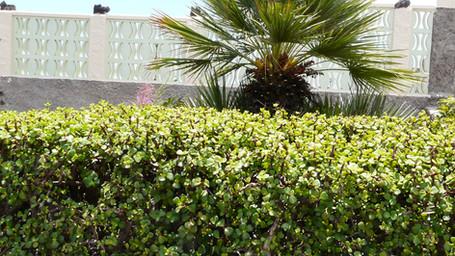 Portulacaria afra hedging.jpg