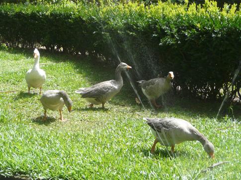 Ducks and sprinklers