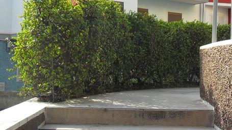 Portulacaria afra used as a hedge.jpg
