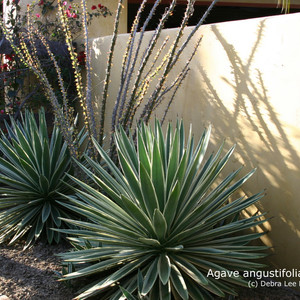 Agave anugustifolia 'marginata' and tall Fourquieria cast shadows late in the day.