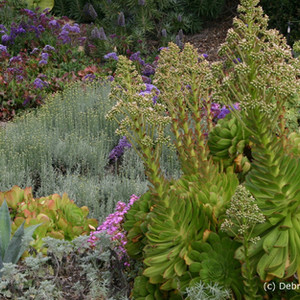 Succulent Aeoniums mixed with herbacious Santolinas and semi succulent Limoniums.