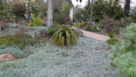 Arctotis ground cover