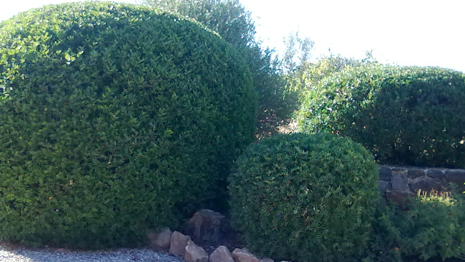Pistacia lentiscus clipped bush.jpg