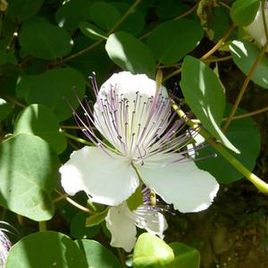 Capparis spinosa var. inermis