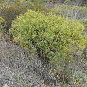 Euphorbia lamarkii