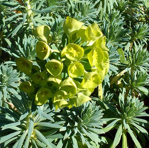Euphorbia characias subsp.wullfenii
