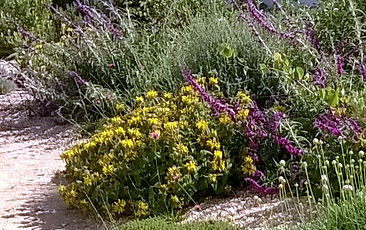 Mixed border of Salvias, Phlomis, Santolina & thyme
