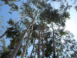 Arboreto Del Villar - Eucaliptos