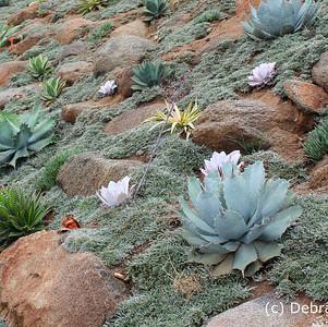 Dymondia as ground cover