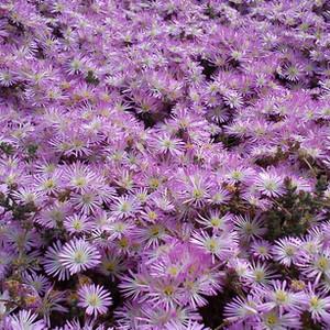 Drosanthemum floribundum in flower