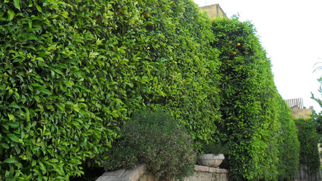 Citrus × aurantium hedging